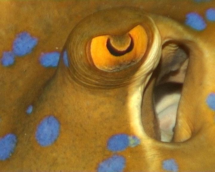 L'oeil de la raie (à taches bleues)
